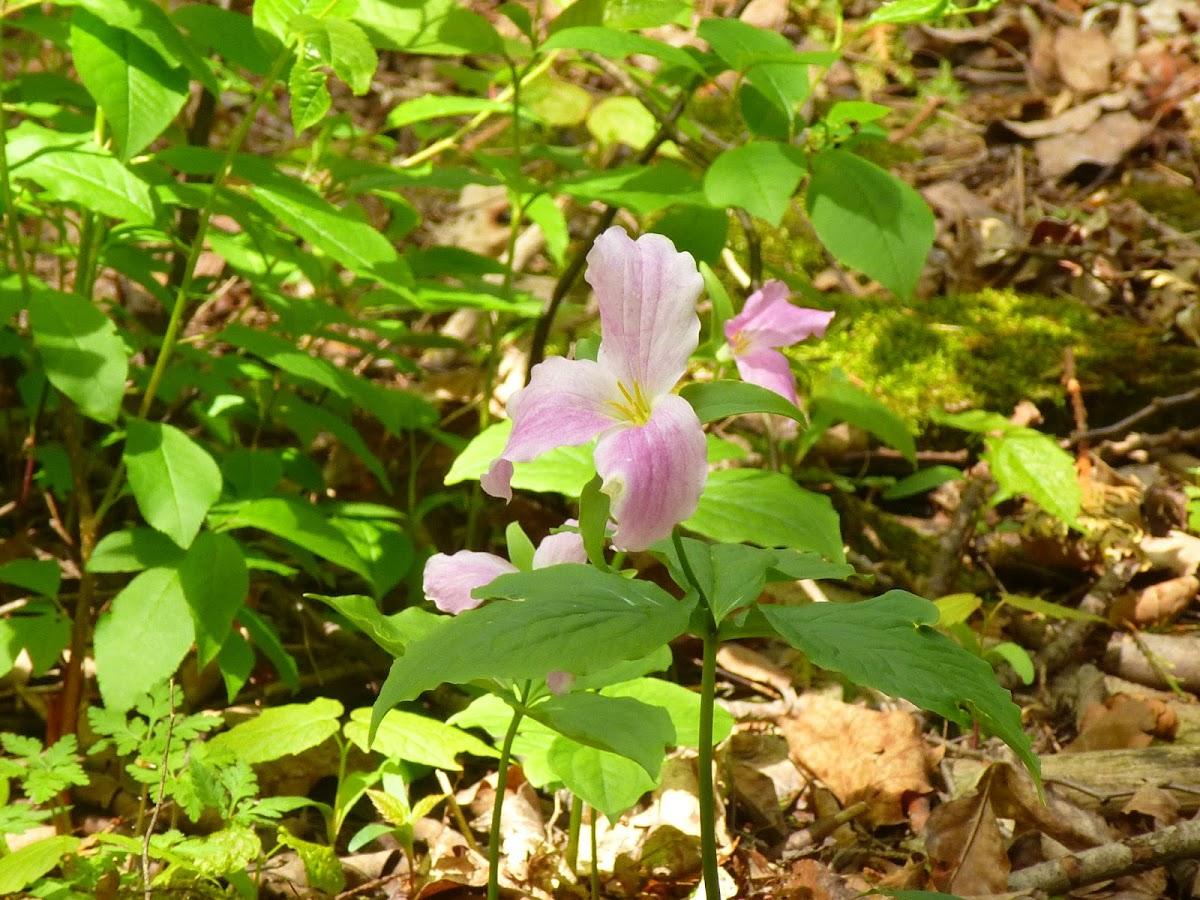 Trillium (pink)