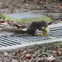 Plaintain squirrel