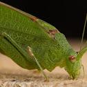 Gemeine Sichelschrecke or Sickle Bearing Bush Cricket