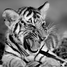 by Charliemagne Unggay - Black & White Animals ( baby, young, animal )