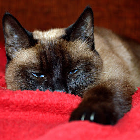 Fred by Evita Ewii - Animals - Cats Portraits ( cat, red, siamese cat, siamese, eyes,  )
