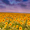 flori-de-soare83958.jpg
