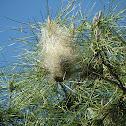 Pine processionary nest