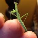 Chinese Mantis
