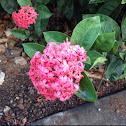 Jungle geranium