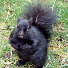 Melanistic gray squirrel