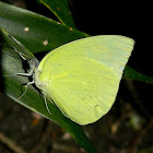 Pierid butterfly
