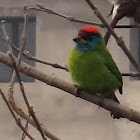 Blue Throated Barbet