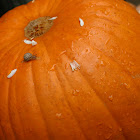 Snail on a Pumpkin :)