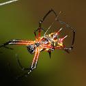 Thorn spider