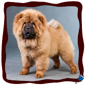 Chow Chow Live Wallpaper