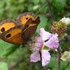 mariposa Pyronia (Idata) bathseba