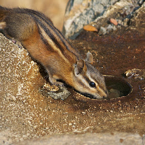 Time For A Drink by Ed Hanson - Animals Other ( water, chipmunk, brown, rodent )