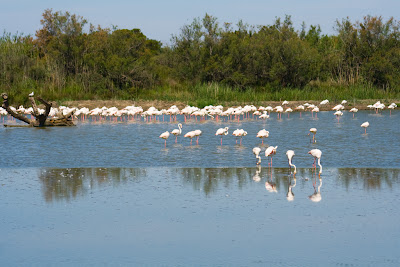 flamants roses pechent