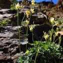 yellow mountain columbine