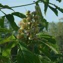 Common Horse-Chestnut