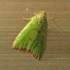 Pyramid Moth