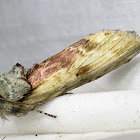Red-humped Caterpillar Moth