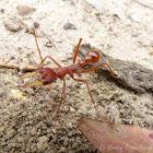 Red Bull Ant