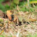 Changeable Lizard (or Oriental Garden Lizard)