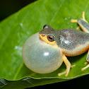 Rough-skinned Bush Frog