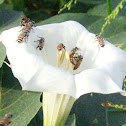 Common Heany Bees
