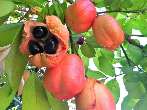 ackee-apple-jamaica - An ackee apple in Jamaica. It's the national fruit of Jamaica and a food staple in the diet of many Jamaicans.