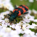 Checkered (clerid) beetle