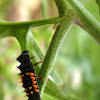 Asian Ladybird Larva