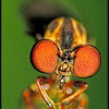Gnat Ogre (robberfly)