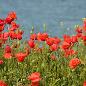 poppies by Rux Georgescu - Flowers Flowers in the Wild ( summer flowers, poppy, wild flowers,  )