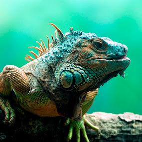 by Sanjay Nagaonkar - Animals Reptiles
