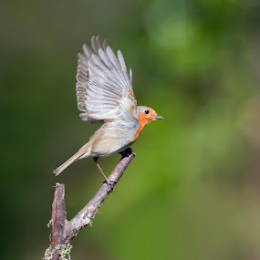 Hiding in my hide (shed) and captured this robin just about to take off by Joan Blease - Animals Birds