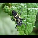 Asian Lady Beetle Harmonia axyridis id by Toucan