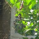 Black legged golden orb web