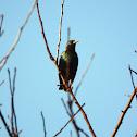 European Starling - Špaček obecný