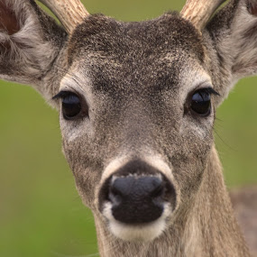 White-Tailed Deer (Buck) by David Montemayor - Animals Other Mammals ( white-tailed deer, close-up,  )
