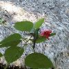 Zun-zun / Cuban Emerald Hummingbird