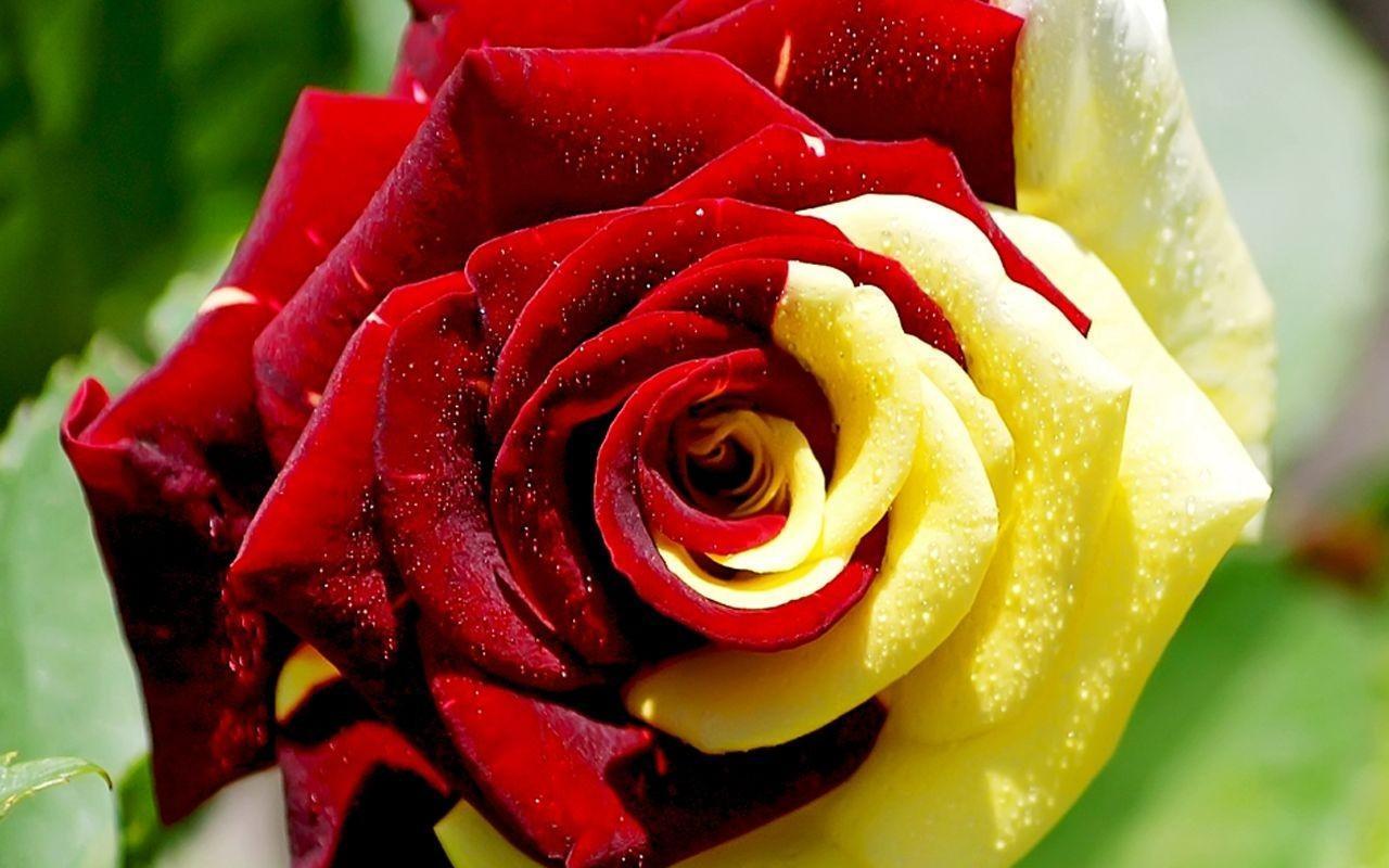 Výsledek obrázku pro fotos de rosa