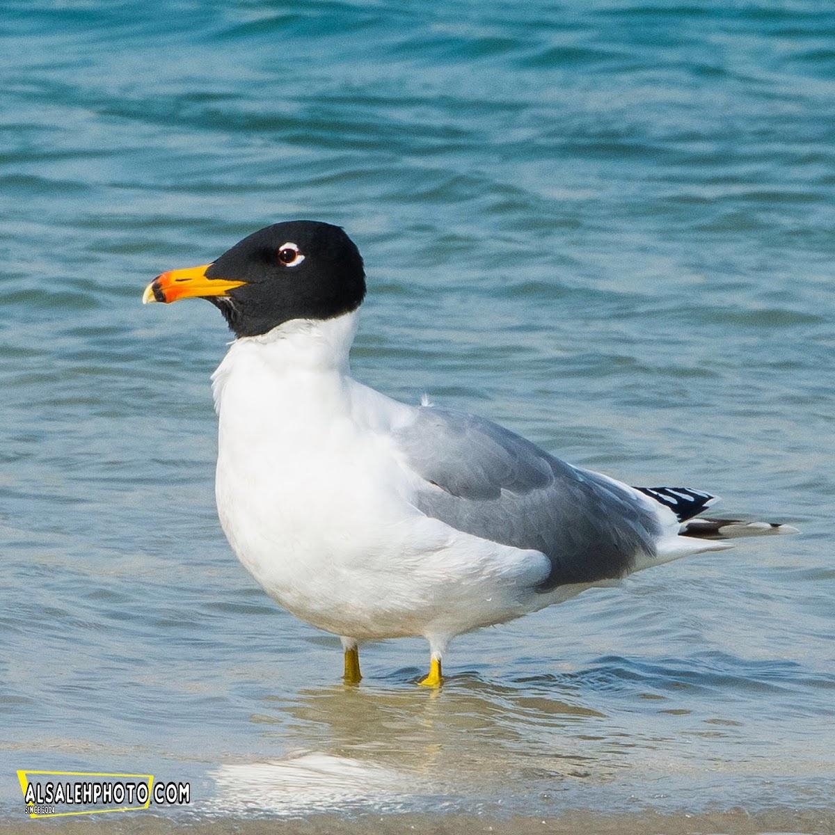 Great Black-headed Gull.