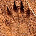 Raccoon (Track)