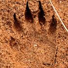 Raccoon (Track)