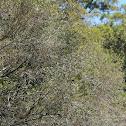 Arrayán tree