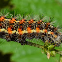 Smeared Dagger Moth - Hodges#9272