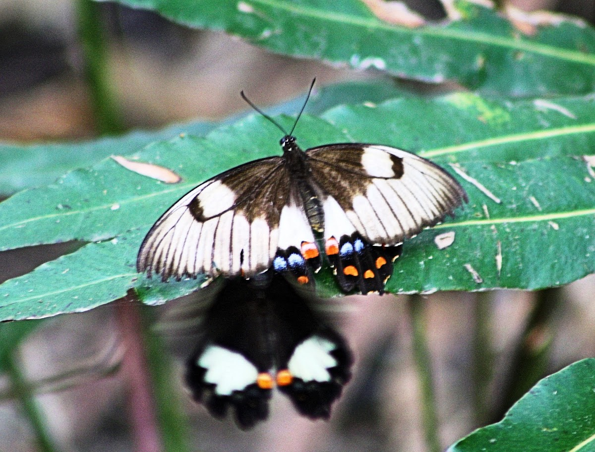 Male & female Orchard Swallowtail Butterfly