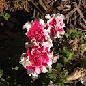 Pink ruffle petunia