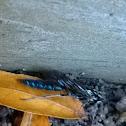 Thynnid Wasps