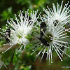Pintail Beetle, aka Tumbling Flower Beetle