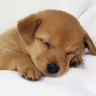 HD Cute Puppy dog Wallpapers icon