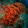 Pineapple sea cucumber